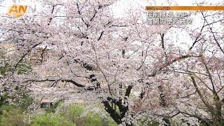 東京・六本木の毛利庭園から桜の状況を伝えてもらいます。 (久冨慶子ア...