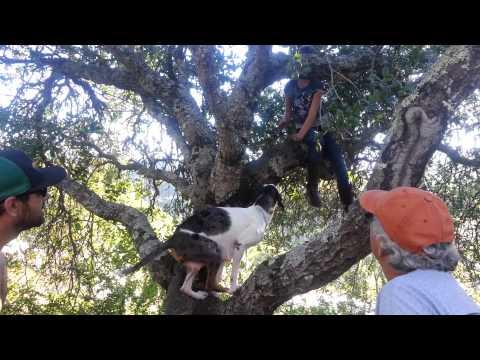 Catahoula Leopard Dog Climbing A Tree