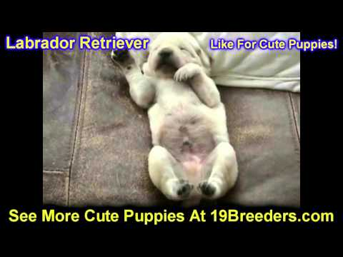 Labrador Retriever, Puppies, For, Sale, In, East Honolulu, Hawaii, HI, Makaha, Pukalani, Haiku Pauwe