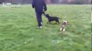 Staffordshire Bull Terrier Chased By Beagle Pup