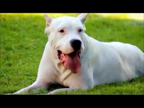 Il dogo argentino il signore dei cani youtube for I cani youtube