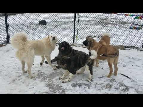 Caucasian Ovcharka vs Caucasian Ovcharka vs American Akitas vs Spanish Mastiff vs Tibetan Mastiff