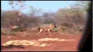 Marcaje y caza de animales africanos