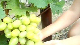 видео саженцы винограда аркадия