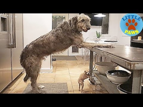 Hilarious Photos Of Irish Wolfhounds, And It's CRAZY How Large They Are