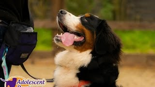 Baci - Bernese Mountain Dog - 3 Week Residential Dog Training