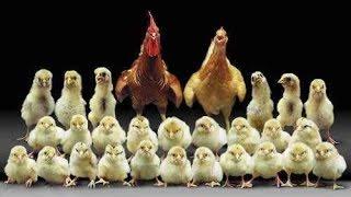 Ошибки начинающих птицеводов*Формируем семью кур