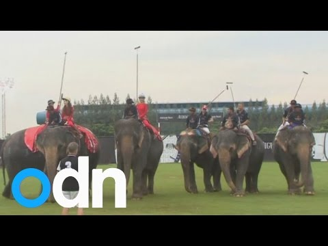 Elephant polo match between Thai ladyboys and ex-All Black rugby players