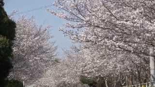 末吉駅跡近辺の桜 鹿児島県の桜名所スポット17 大隅半島
