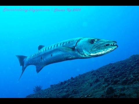 Chasse sous marine -  CUBA PART 1 - Barracuda et Merou dans le Mer des Caraïbes