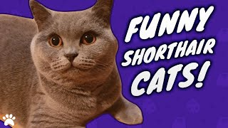 British Shorthair Cats Funny Compilation  New Kitten Toys!