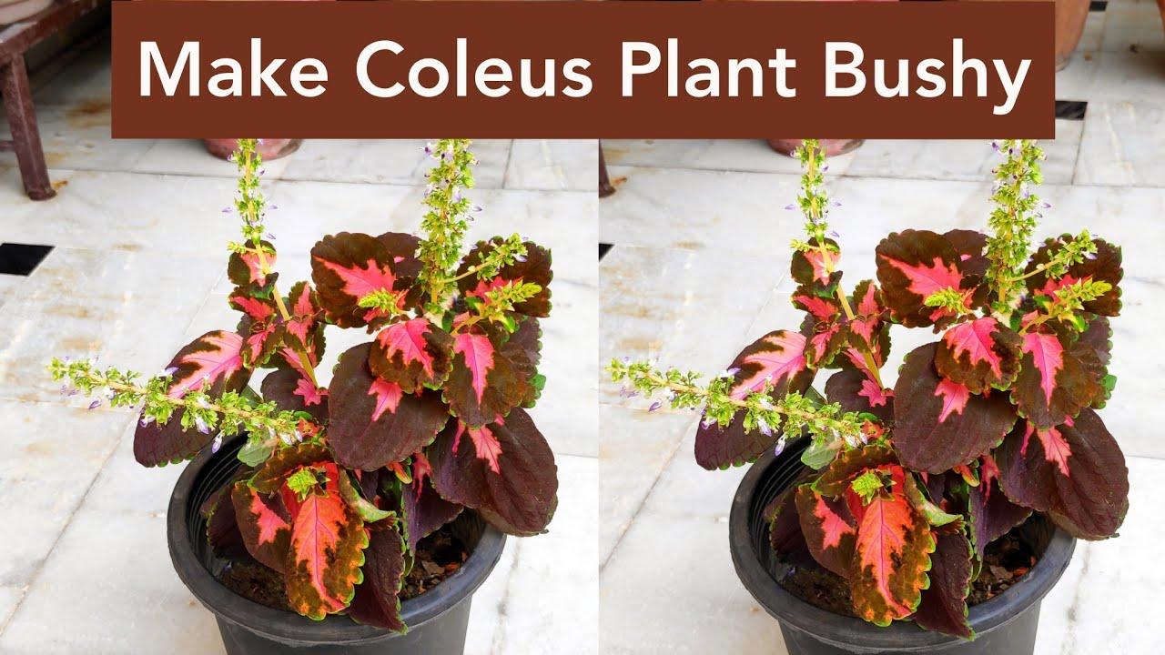 Coleus plant care -1 cutting # shorts