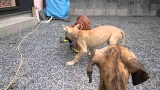 グレートデンの仔犬78日目でスタッフィと体高が並びました。まだまだ、...