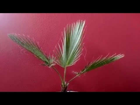 PALMEIRA WASHINGTONIA ROBUSTA  - APRENDA A CUIDAR
