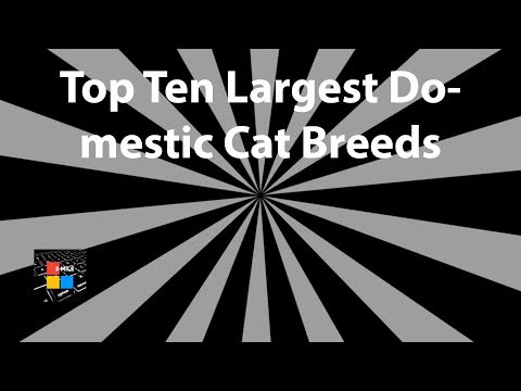 Top Ten Largest Domestic Cat Breeds