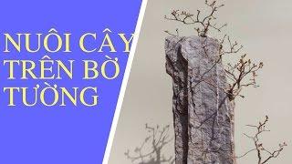 [CÂY CẢNH]-Nuôi cây trên bờ tường,nhử rễ cho ăn thẳng xuống đất