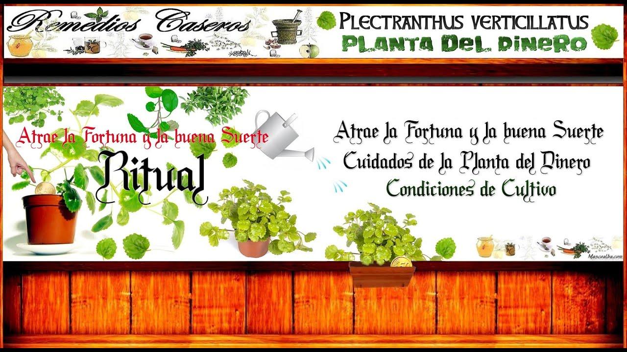 Ritual Para Atraer La Fortuna Y La Buena Suerte Planta Remedios Para La Mala  Suerte