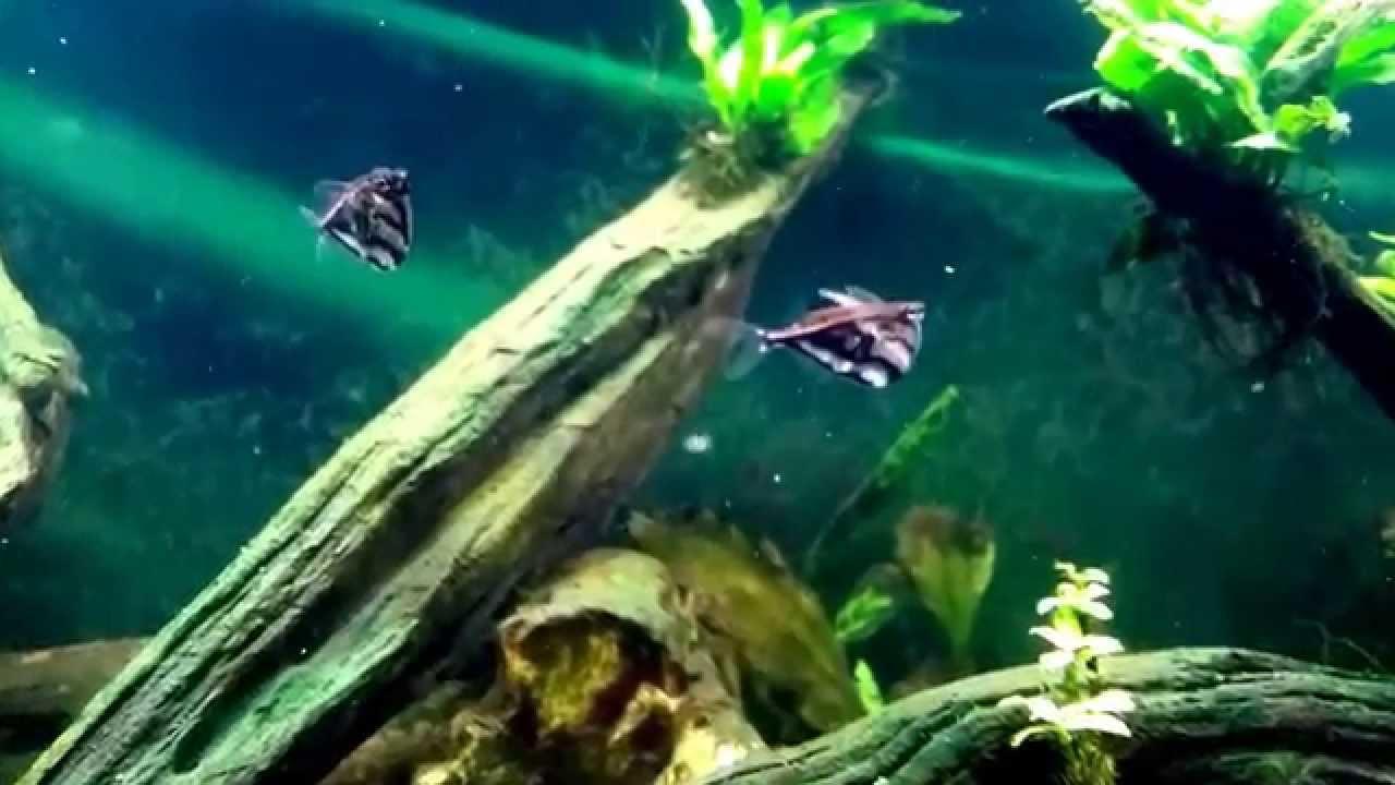 Marbled Hatchetfish In My 40b African Tank Youtube