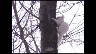白いエゾリス 白いエゾリス 検索動画 3