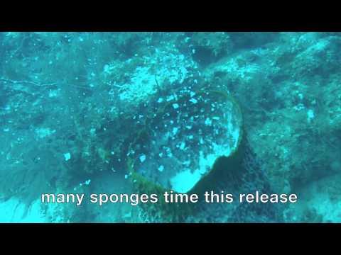 Barrel sponge spawning in the Florida Keys