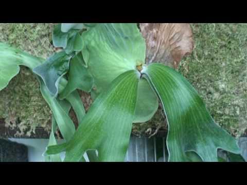 Platycerium andinum安地斯鹿角蕨