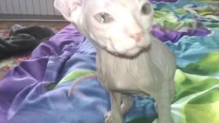 Котёнок сфинкса плачет по маме. Первый день у новых хозяев.