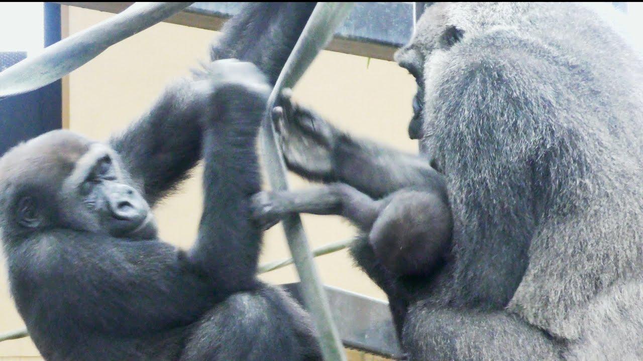 ゲンタロウ、ママからキンタロウを奪えるか?💗[Kyoto Zoo] Can Gentaro take Kintaro from mom?