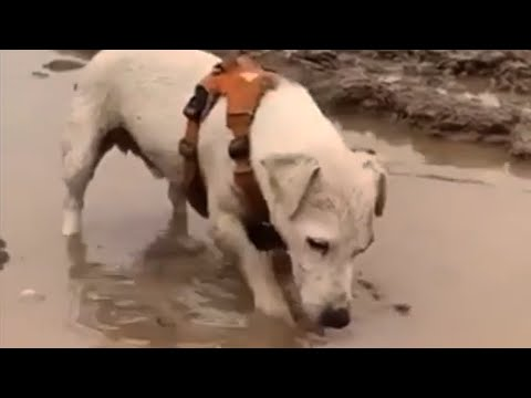 Jack Russell loves to play in the mud