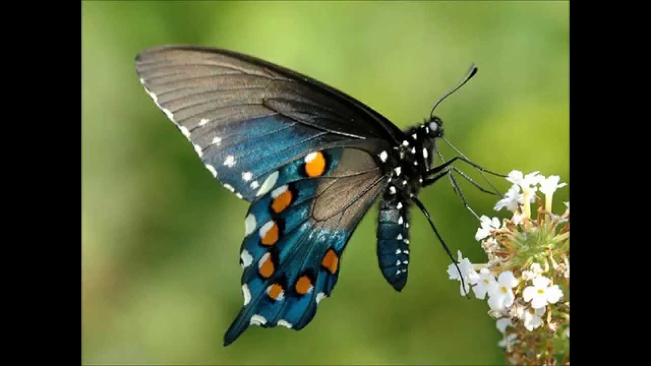 Beautiful Butterfly Video 71