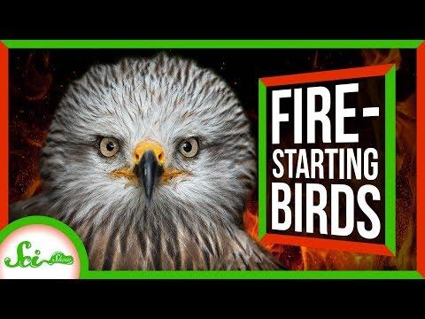 Firehawks: Nature's Arsonists