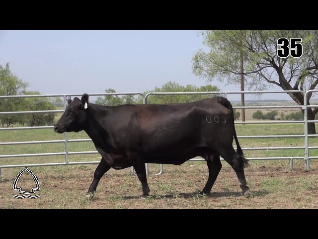 Pearcy Angus Ranch Lot 35