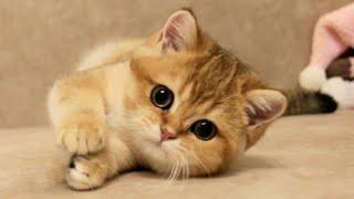My British Shorthair golden kittens   Cuteness overload 🥰