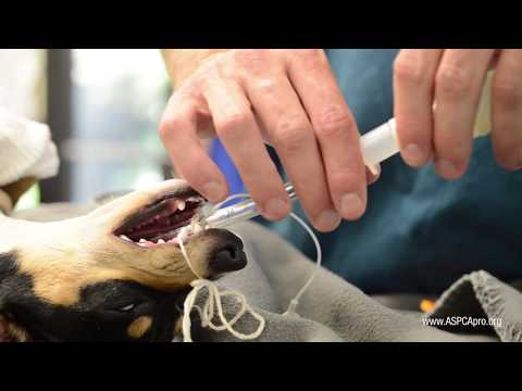 Spay/Neuter Patient Care: Anesthesia - Canine
