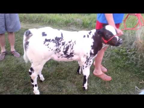 Belgian blue calf