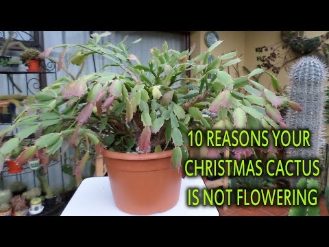 10 reasons why your Christmas cactus / Thanksgiving Cactus is not flowering
