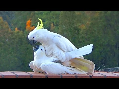 Sweet & Funny Cockatoo Love – wild parrots mating