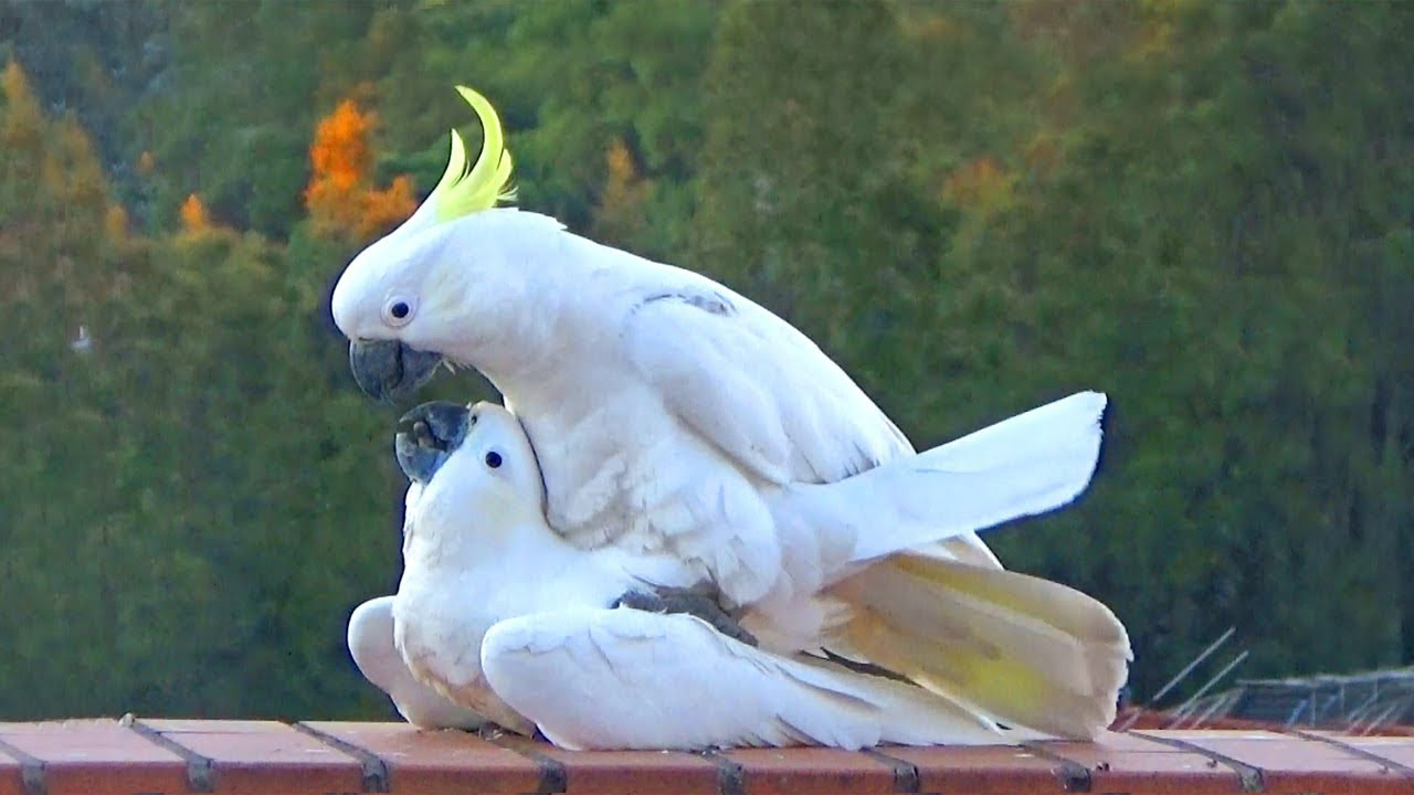 Sweet & Funny Cockatoo Love - wild parrots mating - ViYoutube
