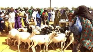 Vidéo: la Culture Poular, Défilé d'ânes et parade de moutons
