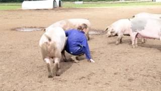 This is British Pig Farming