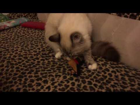 Купить кошек и котят из питомника и частные объявления о