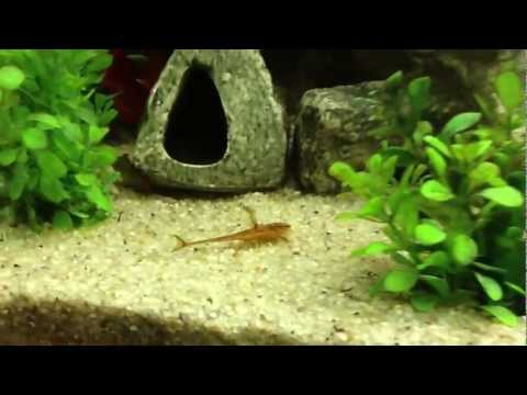 Rineloricaria Sp (Red Lizard Catfish)