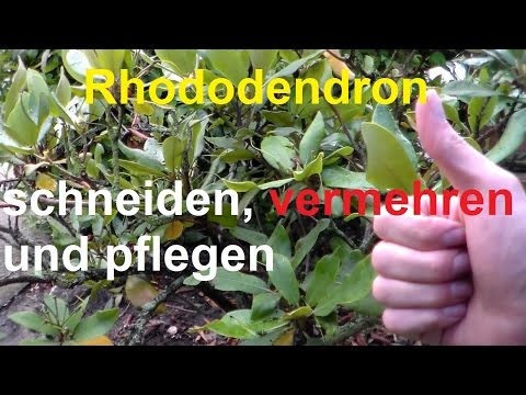 Rhododendron Schneiden Vermehren Rhododendronschnitt nach Blüte radikal runter schneiden