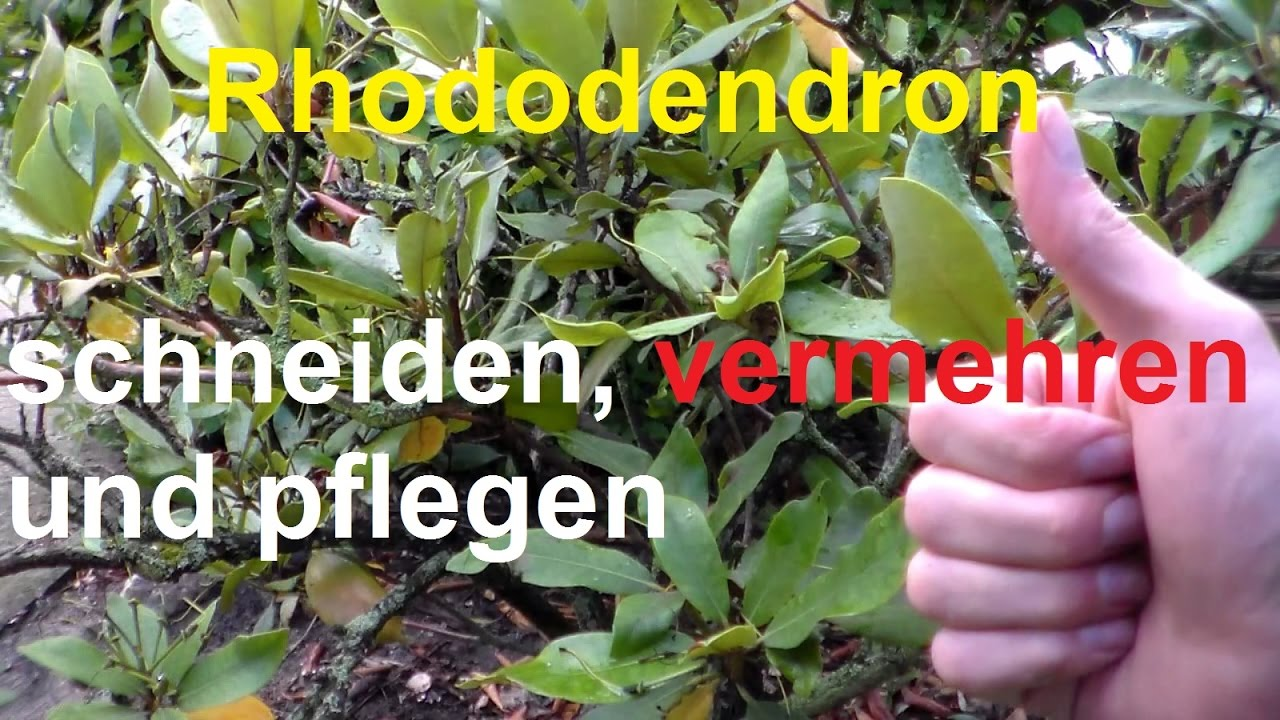 rhododendron schneiden vermehren rhododendronschnitt nach bl te radikal runter schneiden youtube