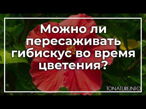Можно ли пересаживать гибискус во время цветения? | toNature.Info