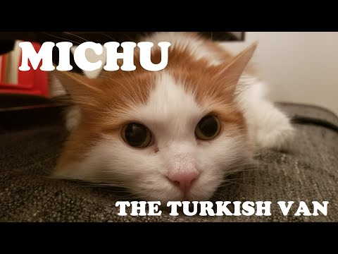 Michu - The Turkish Van.