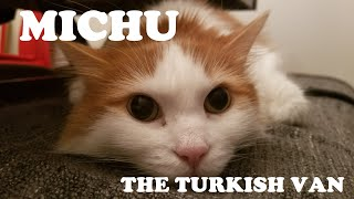 Michu  The Turkish Van.