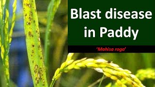 How to manage Blast disease in Rice (Pyricularia grisea)