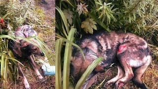 Двое суток собака ждала помощи Люди бездействовали help the sick dog