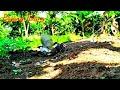Pikat Kutilang Petarung Duel Sengit Berkali Kali  Mp3 - Mp4 Download