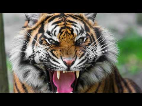sound of tiger growling - tiger sound effect loud